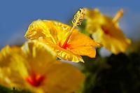 Three Hybiscus close up. Maui