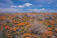 Poppy Scape, Antelope Valley