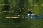 A loon swims with its chick on Lake Anishinabi in Ontario, Canada.