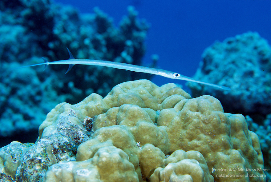 Moorea, French Polynesia; Cornetfish (Fistularia commersonii), solitary or form schools, found in virtually all habitats to 128 meters, in the Indo-Pacific Ocean region, Red Sea to Baja, Galapagos, N. New Zealand, Rapa Island in French Polynesia and Easter Island, to 150 cm , Copyright © Matthew Meier, matthewmeierphoto.com All Rights Reserved