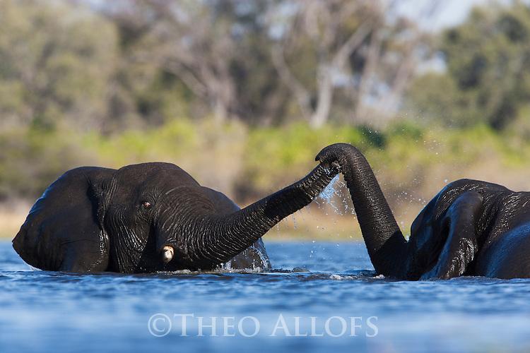 Botswana, Okavango Delta, Moremi Game Reserve, young African elephant bulls (Loxodonta africana) playing in river