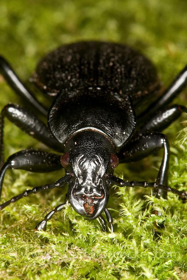 Lederlaufkäfer, Leder-Laufkäfer, Lederkäfer, Portrait mit Mundwerkzeugen, Carabus coriaceus, leatherback ground beetle, leather beetle