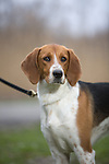 American Foxhound <br />