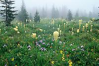 Bear Grass, Iris, paintbrush and yellow pea carpet a subalpine meadow in the Cascade Mountains of Washington.  May.