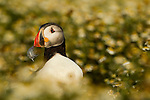 Atlantic Puffin (Fratercula arctica) carrying feather, Skomer Island National Nature Reserve, Skomer Island, Pembrokeshire, Wales, United Kingdom