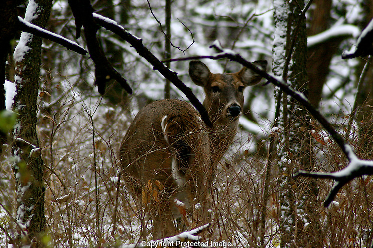 Winter Deer, Shawnee Mission Park, Kansas