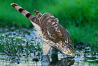 541720022 a wild juvenile coopers hawk accipiter cooperii drinks from a small pond in the rio grande valley south texas united states