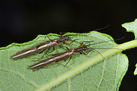 Steinfliege, Leuctra spec., stonefly