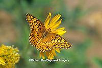 03312-003.17 Variegated Fritillary butterfly (Euptoieta claudia) Starr Co. TX
