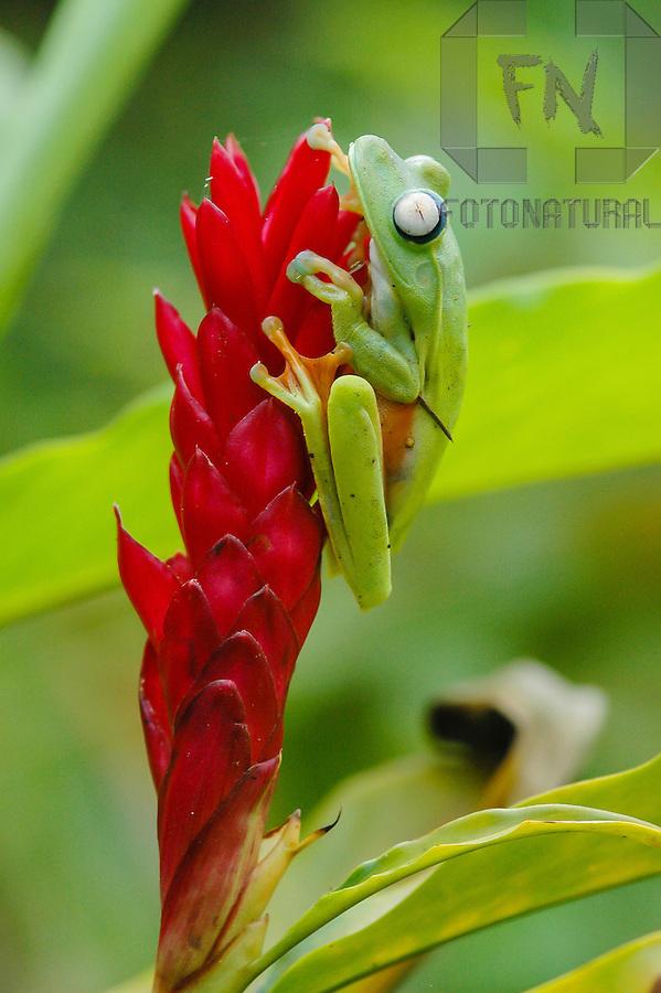 Perereca em brom&eacute;lia da Mata Atl&acirc;ntica | Tree frog in bromeliad of the Atlantic Rainforest<br /> <br /> LOCAL: Bertioga, S&atilde;o Paulo, Brasil<br /> DATE: 08/2005<br /> &copy;Pal&ecirc; Zuppani