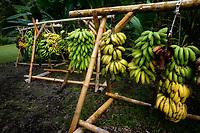 Bananas curing on racks. Near Hana, Maui, Hawaii