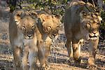 Lion In The Private Ongava Reserve, Etosha.