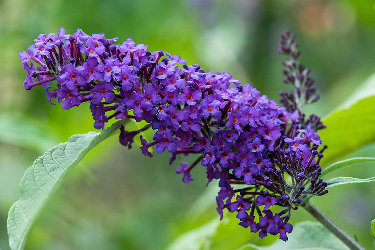 Buddleia davidii nanhoensis 'Nanho Purple', early August.