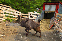Release of European bison, Bison bonasus, in the Tarcu mountains nature reserve, Natura 2000 area, Southern Carpathians, Romania. The release was actioned by Rewilding Europe and WWF Romania in May 2014.
