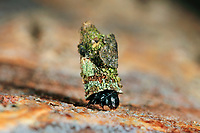 Glocken-Sackträger, Glockensackträger, Sackträger, Raupe, Larve in ihrem Gespinstsack, Raupensack, Bacotia claustrella, shining smoke, bagworm, Echte Sackträger, Psychidae, bagworm moths, bagworms, bagmoths