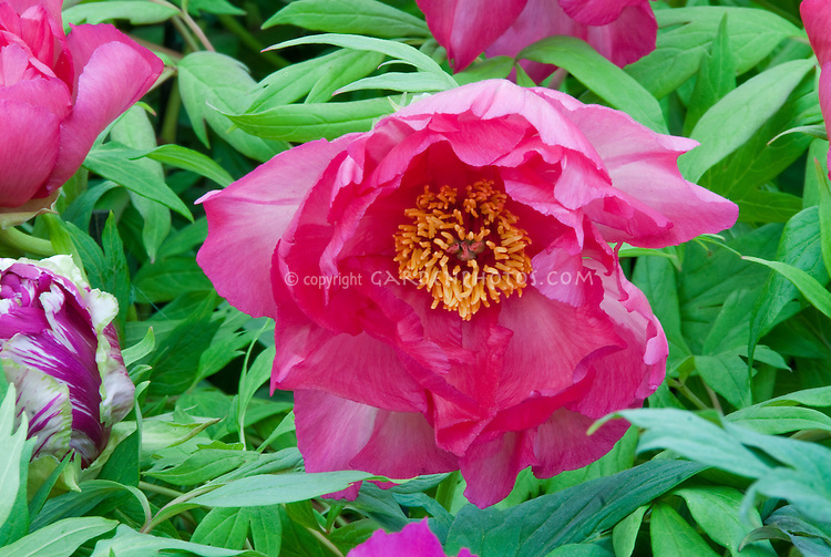 Paeonia Renown suffruticosa tree peonies in vivid colorful deep pink peonies flowers