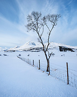 Barren winter tree next to fence, Ostad, Vestvågøy, Lofoten Islands, Norway