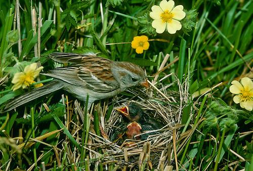 Field Sparrow mother, Spizella Passerina, feeding babies in nest
