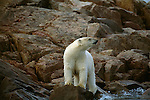 A polar bear stands wet on a rock after swimming in the ocean.