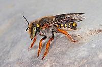 Spalten-Wollbiene, Spaltenwollbiene, Felsspalten-Wollbiene, Wollbiene, Wollbienen, Anthidium oblongatum, Palearctic wool-carder bee