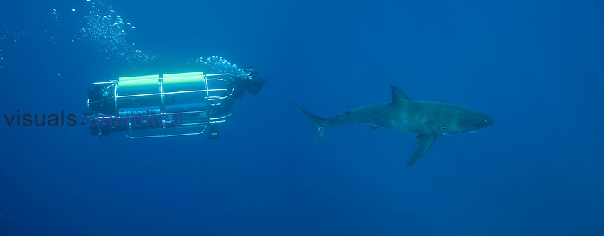 Shark researchers filming a Great White Shark (Carcharodon carcharias) from the safety of a powered mobile cage off Guadalupe Island, Mexico.