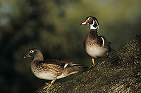 Wood Duck, Aix sponsa,pair on Oak tree, New Braunfels, Texas, USA
