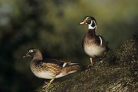 Wood Duck, Aix sponsa,pair on Oak tree, New Braunfels, Texas, USA
