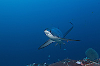 RA50120-D. Pelagic Thresher Shark (Alopias pelagicus), being cleaned by Bluestreak Cleaner Wrasse (Labroides dimidiatus) at cleaning station on an offshore reef, 120 feet deep. Philippines, tropical Indo-Pacific oceans. <br /> Photo Copyright &copy; Brandon Cole. All rights reserved worldwide.  www.brandoncole.com