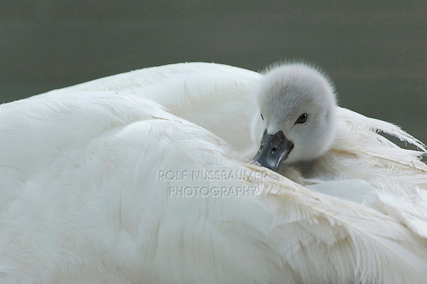 Mute Swan ( Cygnus olor), young on mothers back, Lake of Zug, Switzerland