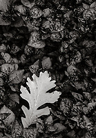 The wind tugs off an oak leaf and places it in a bed of ground cover plants, Cantigny gardens, DuPage County, Illinois