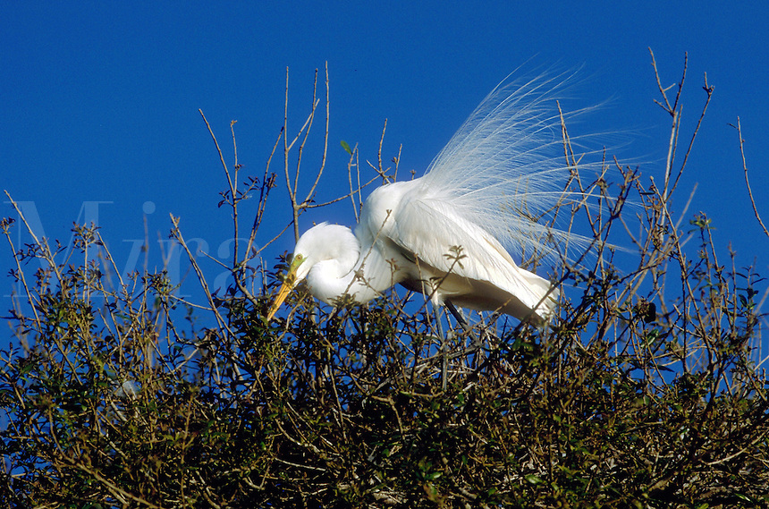 A Great Egret in breeding plumage.