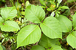 Poison ivy plant Toxicodendron radicans Cashew