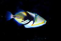 Humuhumunukunukuapuaa (triggerfish), the Hawaii State fish, at Sea Life Park aquarium, Oahu