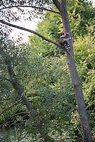 """Waschbär, etwa 6 Monate altes Jungtier klettert in einer Weide, Männchen, Rüde, Waschbaer, Wasch-Bär, Procyon lotor, Raccoon, Raton laveur, """"Frodo"""""""