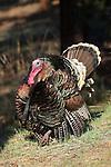 Merriam Turkey in Full Strut