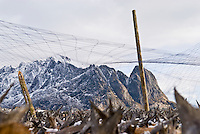 One of Norway's longest sustained exports, Cod stockfish hanging on wooden drying racks, called flakes, during winter.  The cold air helps protect from insects and prevents bacterial growth.  Lofoten, Norway.
