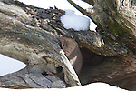 Northern short-tailed shrew (Blarina brevicauda)