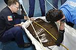 Foto: VidiPhoto<br /> <br /> ARNHEM &ndash; Verliefde rog vangt bot. De enige luipaardpijlstaartrog in Nederland, van de soort Himantura Uarnak, is na zich een blauwtje te hebben gezwommen in Engeland, sinds donderdag weer in de Ocean van Burgers&rsquo; Zoo in Arnhem. Op een ludieke contactadvertentie van Curator Max Janse van Burgers' twee jaar geleden en gestuurd naar 400 publieke aquaria over de hele wereld, kwamen diverse reacties. Een Engels vrouwtje uit Legoland Windsor was volgens de Arnhemse dierentuin het meest veelbelovend om samen jonge rogjes te verwekken. Na een romance van ruim twee jaar bleek de match toch minder succesvol dan op het eerste gezicht gedacht. De zeventienjarig Uarnak werd daarom donderdag na een dag in quarantaine, weer teruggeplaatst in de Ocean. Voorlopig komt de pijlstaartrog een tijdje tot rust in het reuzenaquarium, waarna er na een uitgebreide evaluatie opnieuw een poging volgt om de platvis te matchen met een partner. Burgers&rsquo; Zoo is de grootste kweker van adelaarsroggen ter wereld en ook met de voortplanting van diverse andere roggen- en haaiensoorten erg succesvol.