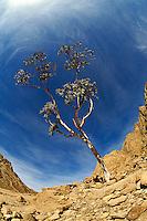 Fisheye view skyward of single tree on hillside at Monastery of Saint Catherine in the Sinai of Egypt.