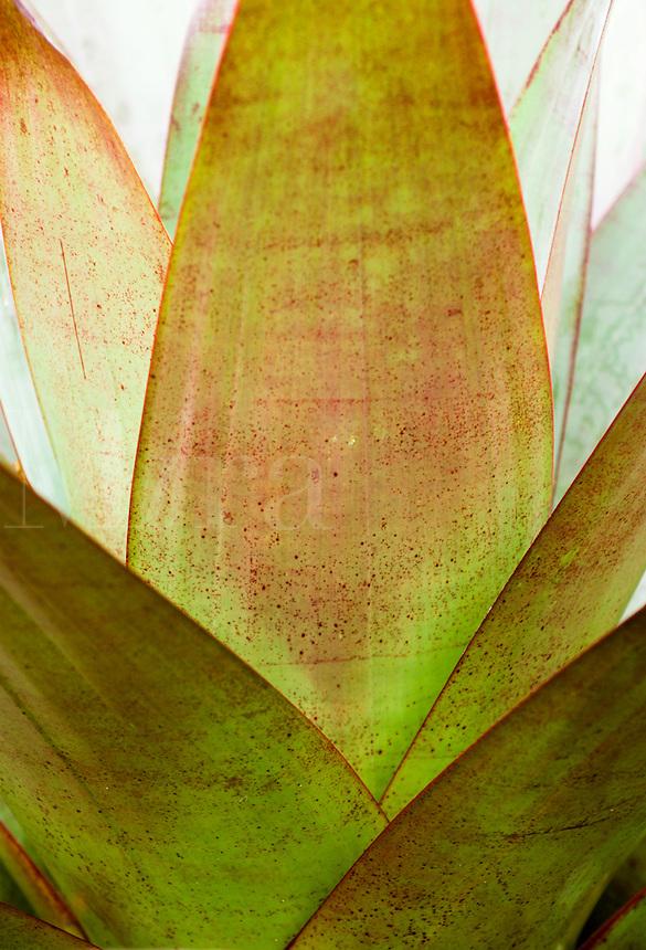 Bromeliad (Vriesea imperialis), Hoomaluhia Botanical Garden, Honolulu, Oahu, Hawaii