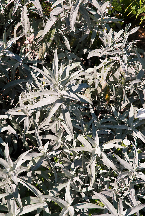 Artemisia ludoviciana Silver King, gray leaved foliage perennial groundcover