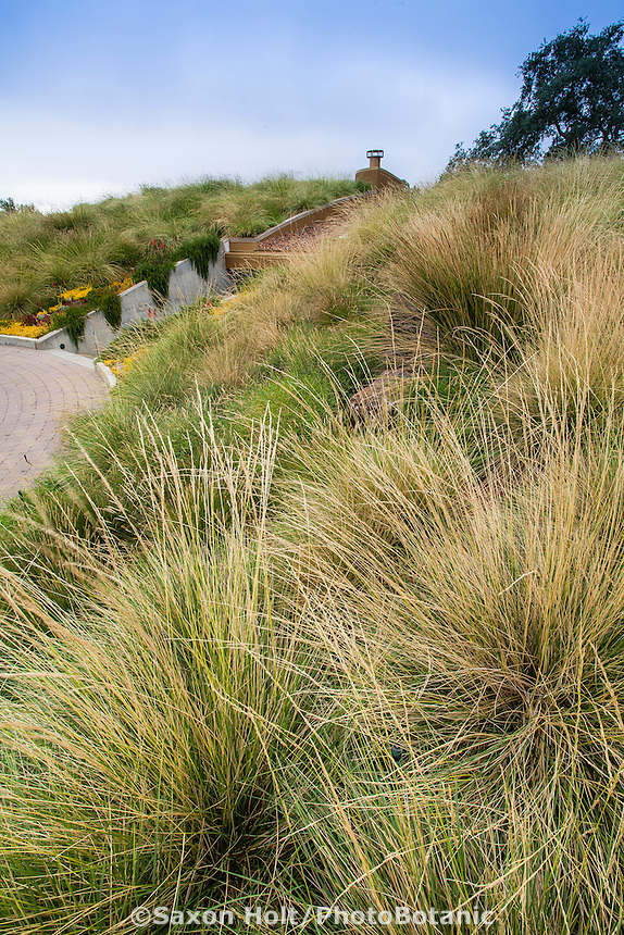 Festuca mairei (Atlas Fescue) on grass meadow green roof garden for California home