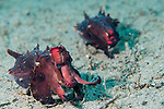 Anilao, Philippines; a pair of Flamboyant Cuttlefish (Metasepia pfefferi) 'walking' across the sandy bottom, while displaying warning colors and patterns