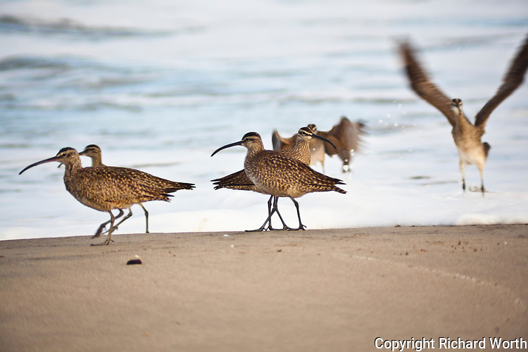 Collective nouns for a group of whimbrels include:  fling, bind, time-step and contradiction.  This 'fling' was prowling  at Pomponio State Beach.