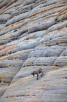 One Bighorn Sheep Ram on Checherboard Mesa. Zion National Park, UT