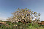 Israel, Southern Coastal Plain. Sycamore tree at Nitzanim Sand Dune Park