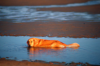 A Golden Retriever dog wades in a tide pool at the beach.