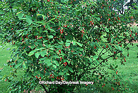 63808-018.14 Shadblow Serviceberry Bush (Amelanchier canadensis) with fruit Marion Co.   IL