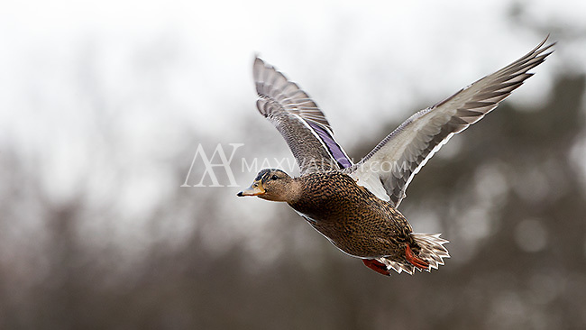 A female mallard duck takes off at Reifel Bird Sanctuary in BC.