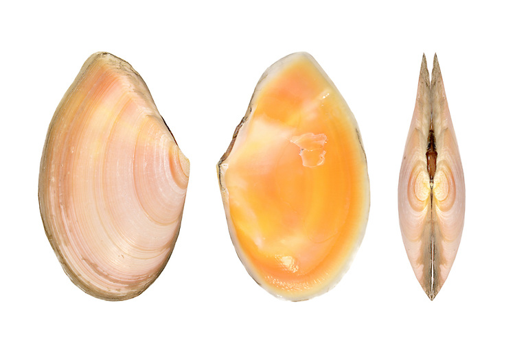 Anguluss squalidus (formerly Tellina squalidus) Length to 35mm. Bivalve mollusc that lives in coarse sand. Mainly sub-littoral. In Britain, restricted to SW.